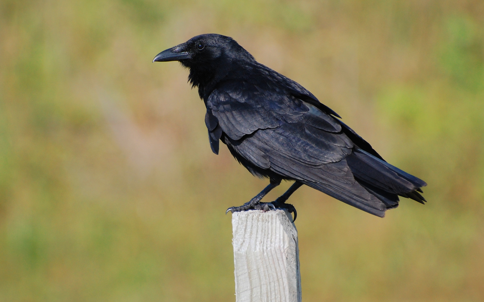 The Fish Crow is a close relative of the common American Crow adapted to coastal habitat. They are almost impossible to tell apart by sight, ...