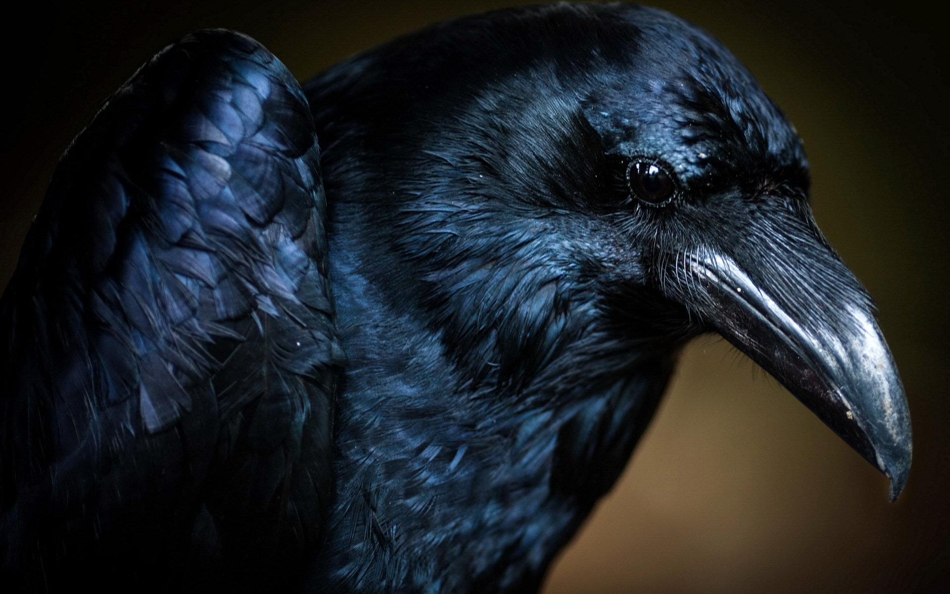 ... Crow Wallpaper; Crow Wallpaper