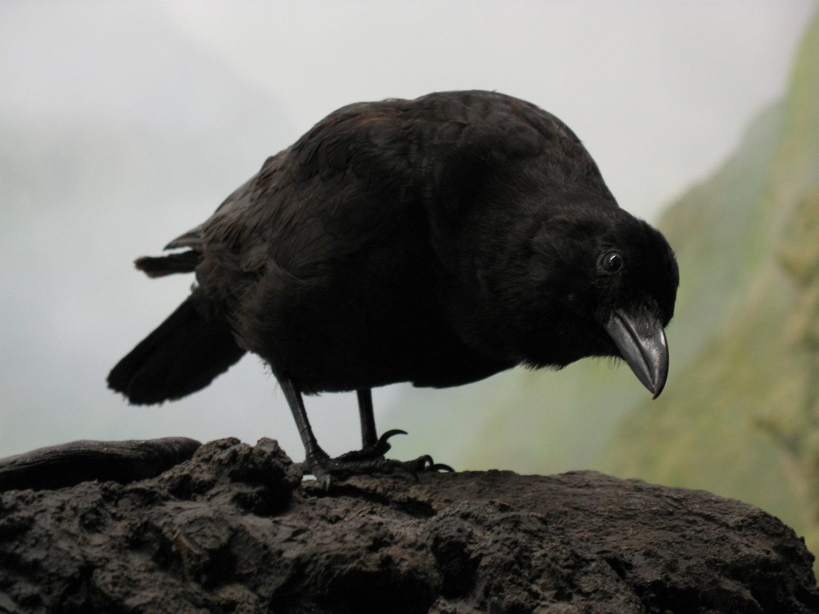 Curious Crow by solarka-stock
