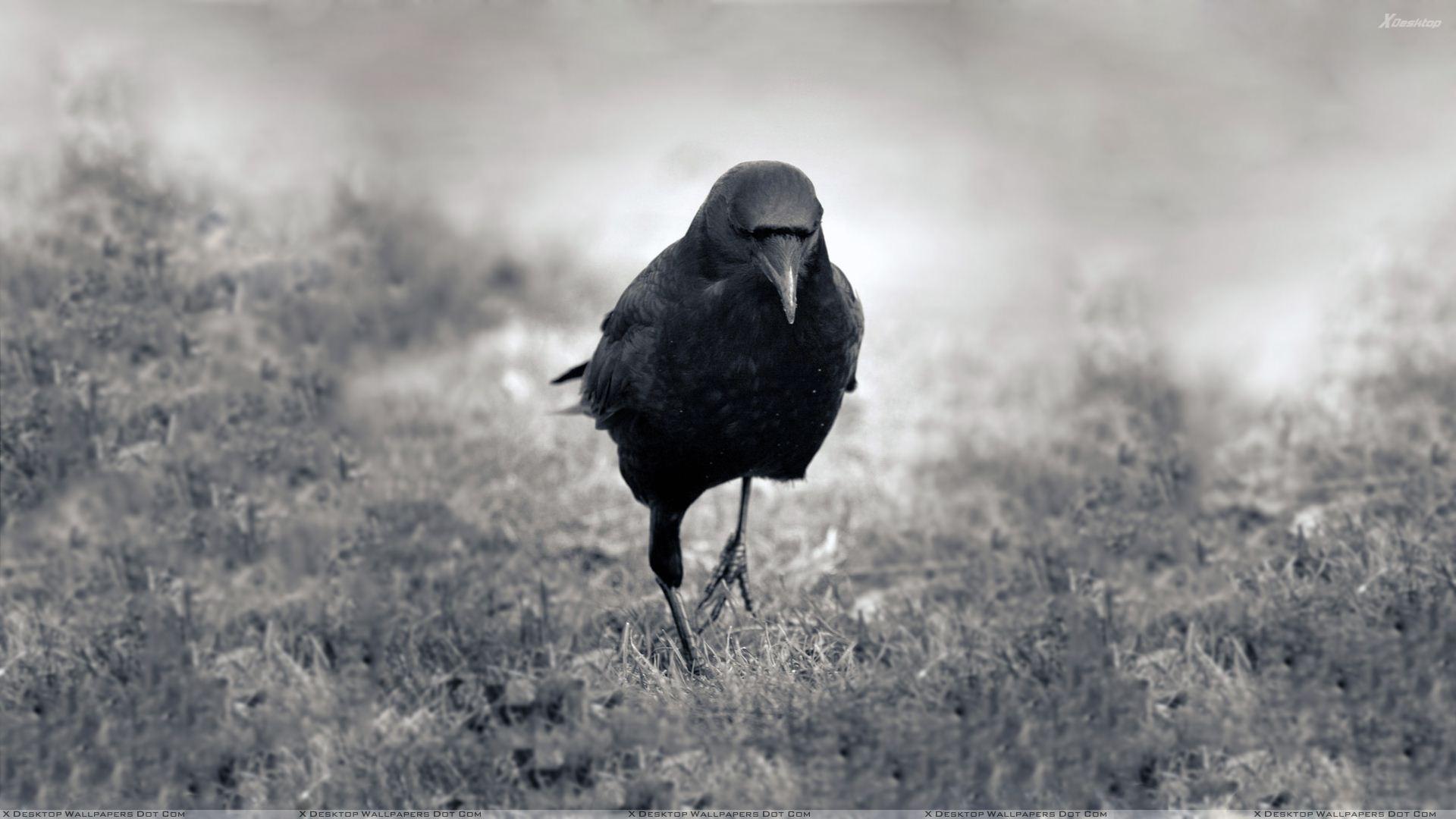 Crow Wallpaper