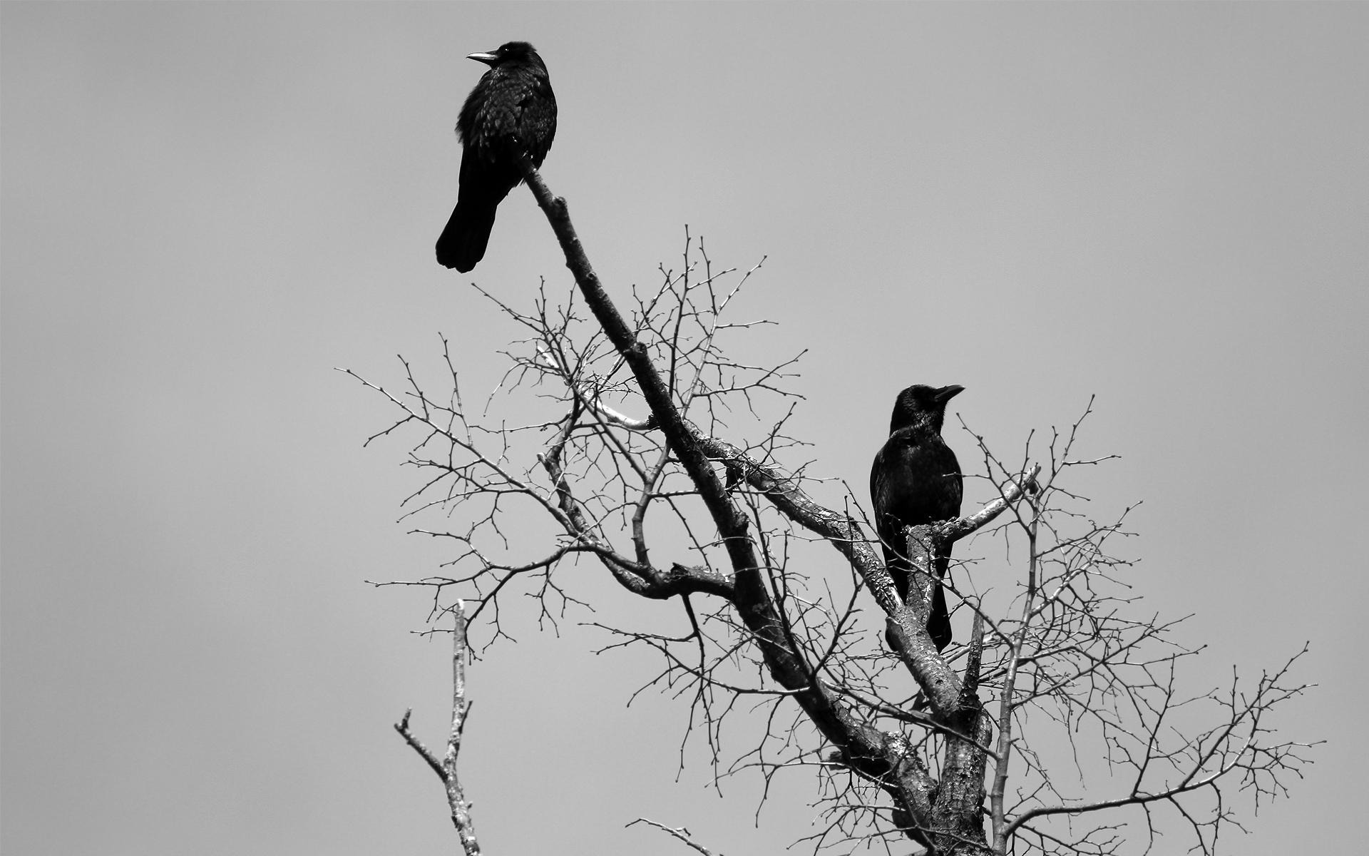 ... Crow Wallpaper ...