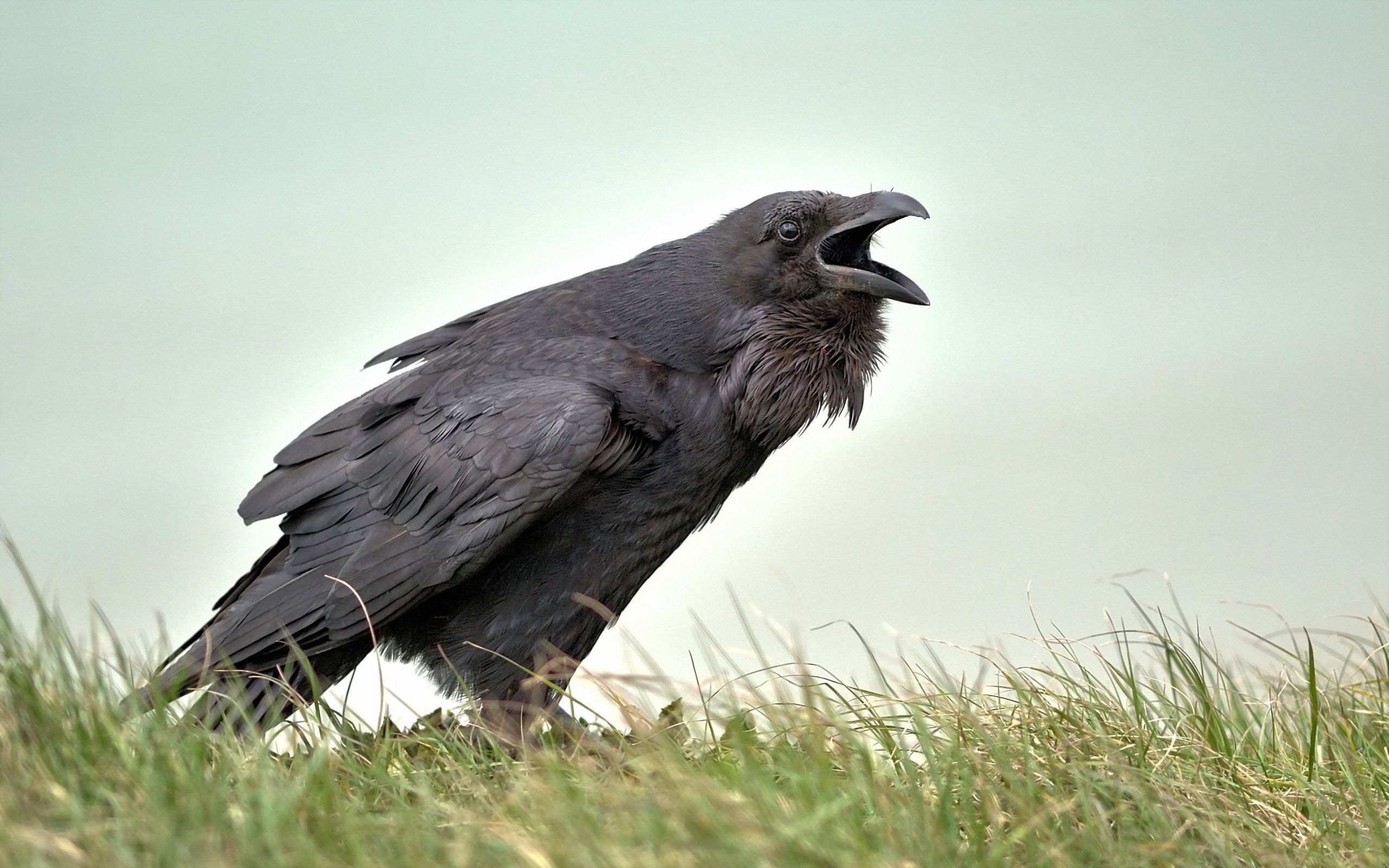 Crows ...