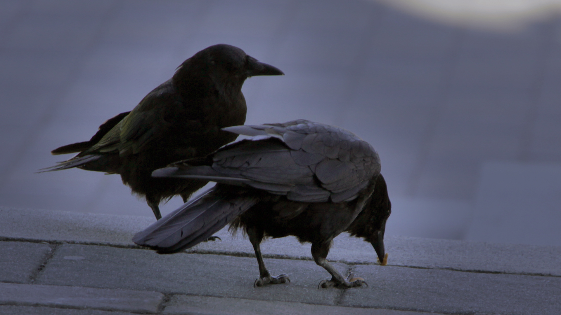 Crows Eating by soupertrooper Crows Eating by soupertrooper