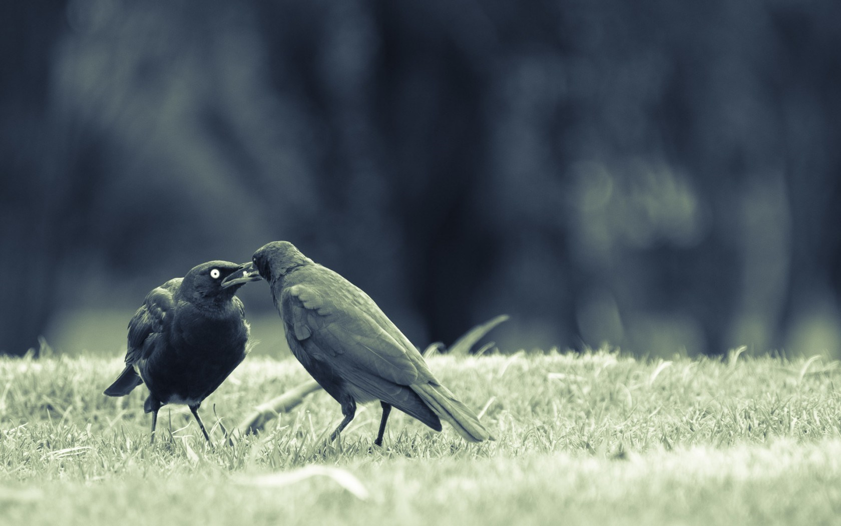 Birds Crows