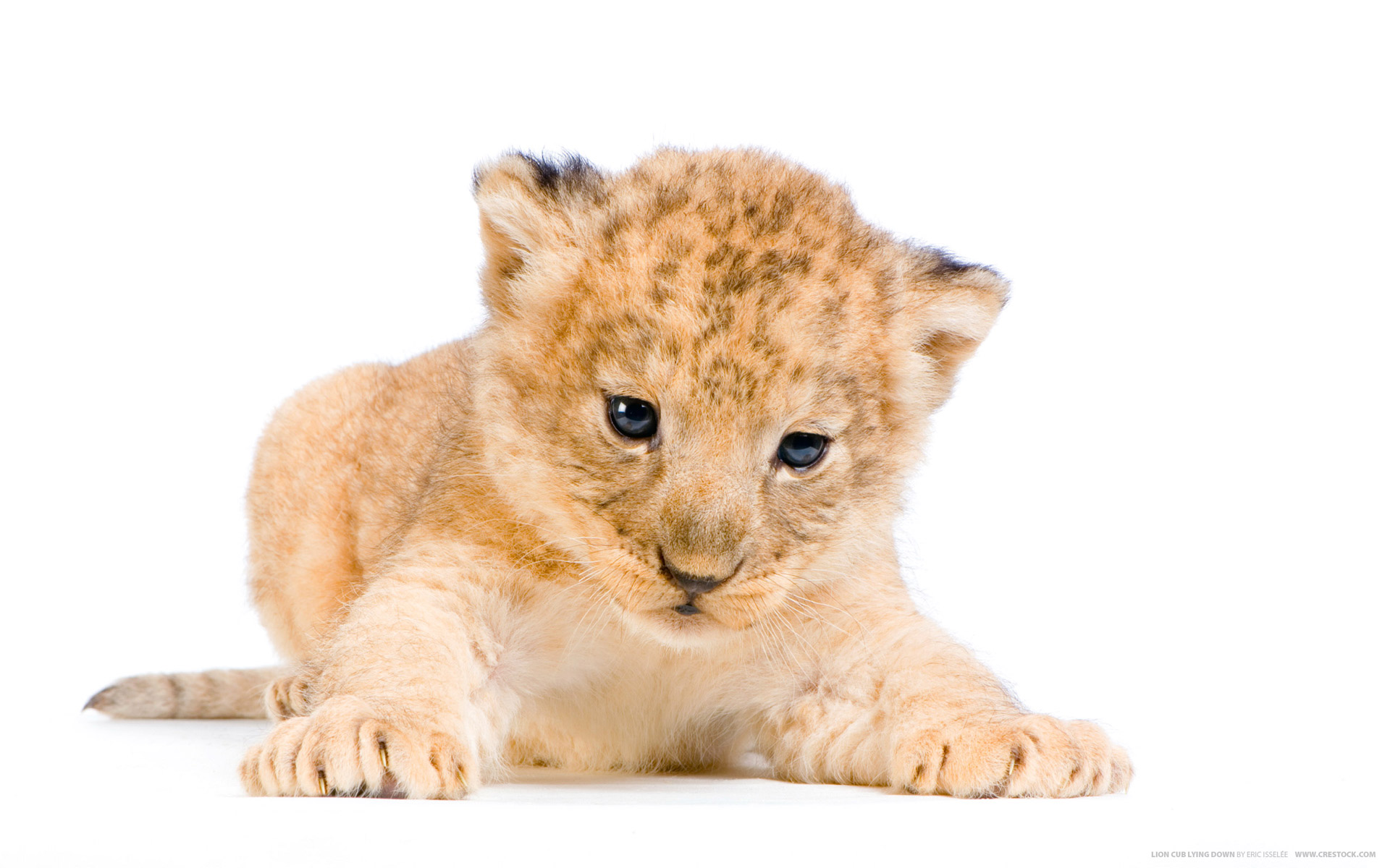 View And Download Lion Cub Wallpapers