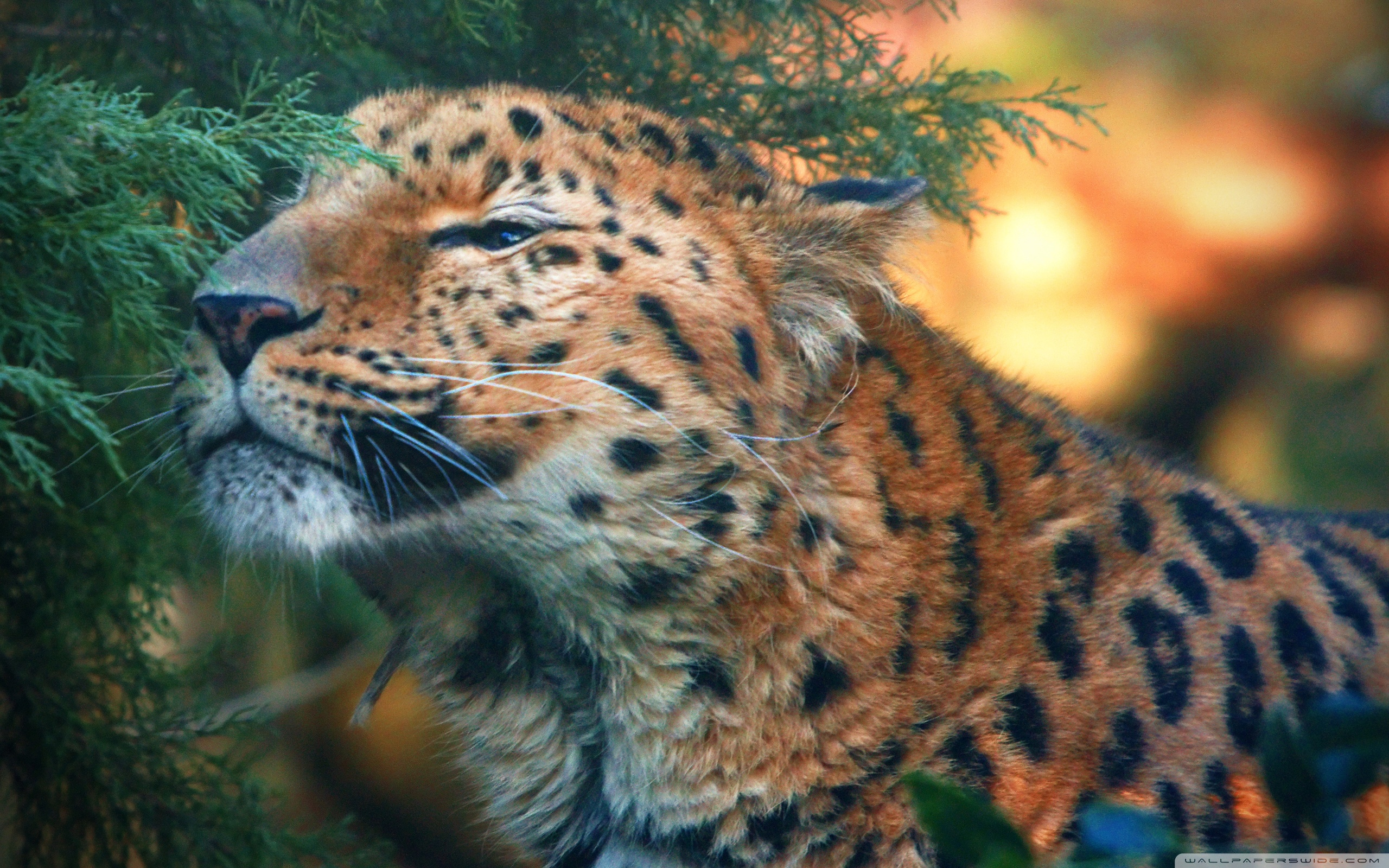 Cute Amur Pictures