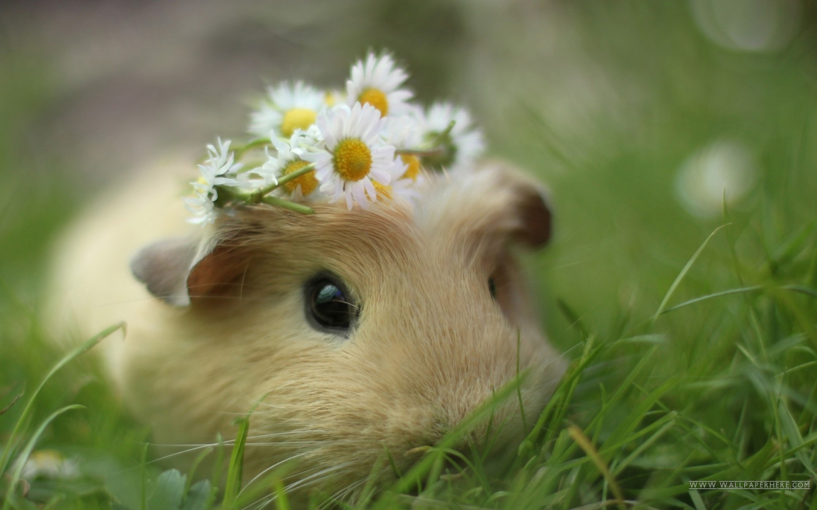 Cute Animal - Cavy Wallpaper. More Free PC Wallpaper for Your Desktop Backgrounds