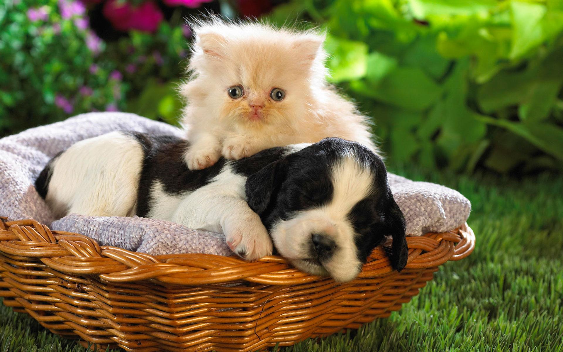 Baby Animal Pictures Cute Puppy Desktop Wallpaper