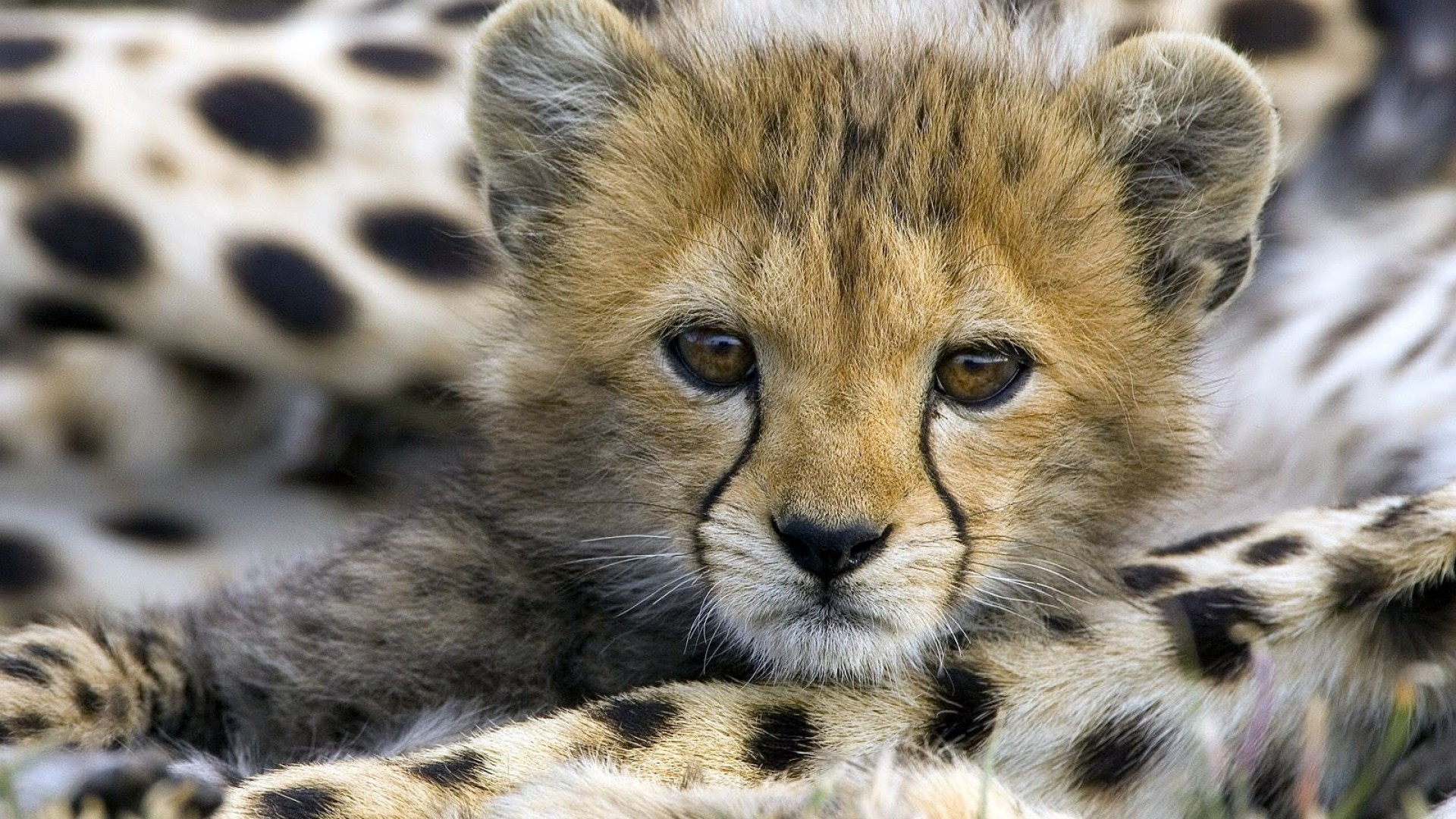 Cute Baby Cheetah Cubs Wallpaper 2