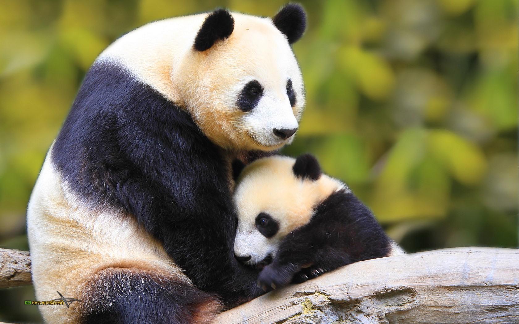 Baby panda hd wallpaper,Baby Panda ...