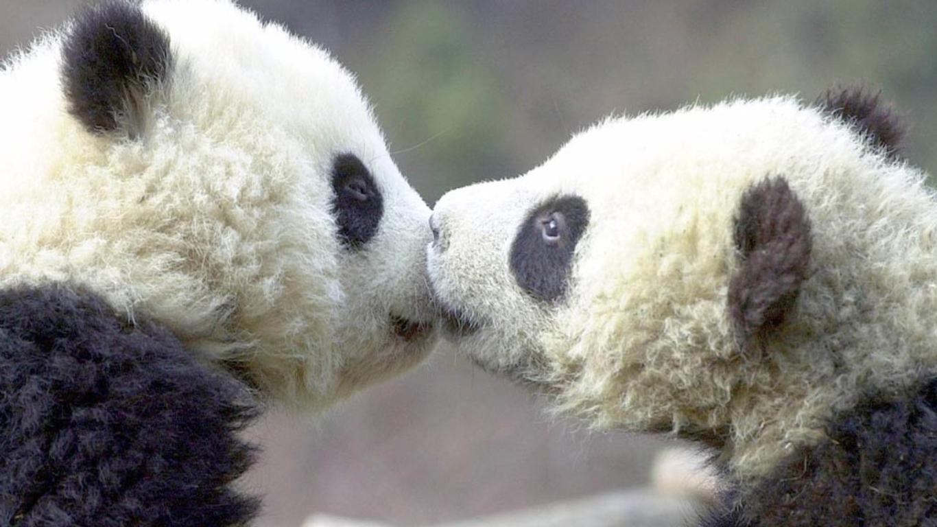 Cute Baby Panda Wallpaper 1366x768 58293