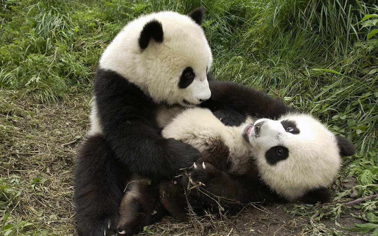 Cute Baby Panda