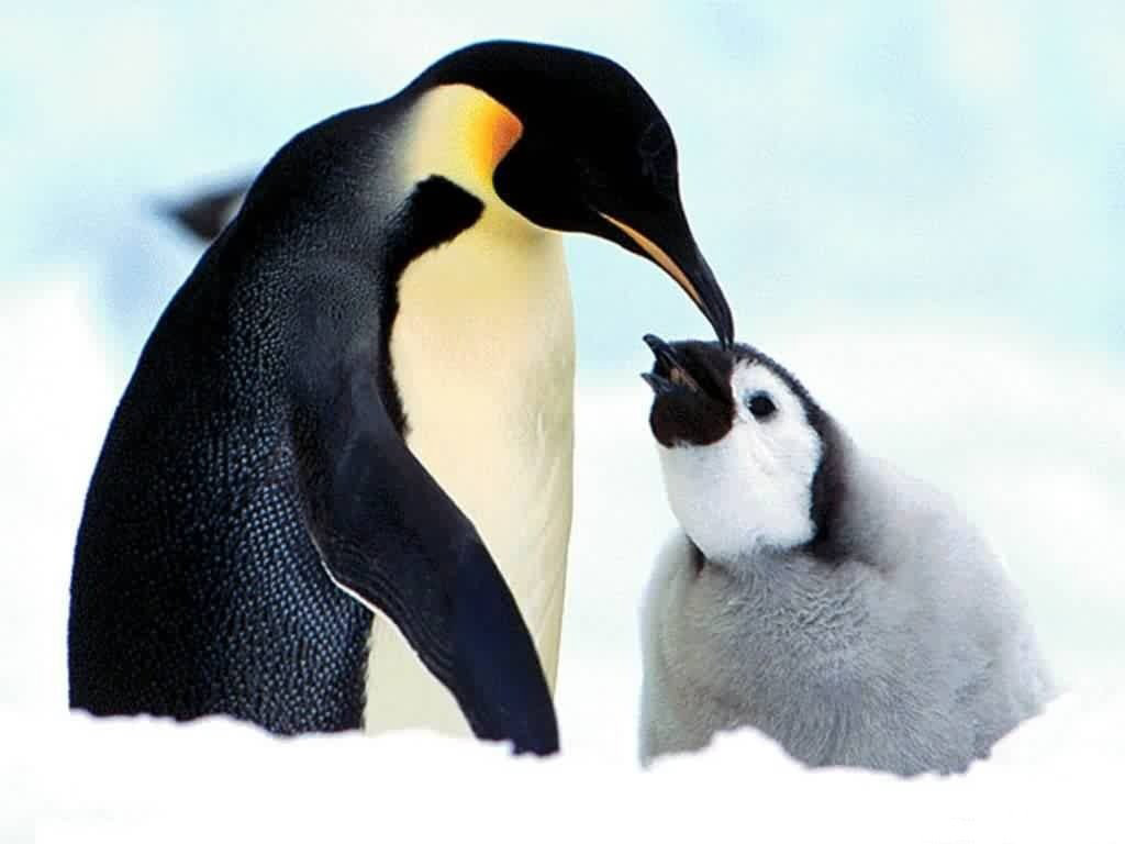 penguin desktop wallpaper wallpapers snow ice family cute baby penguin