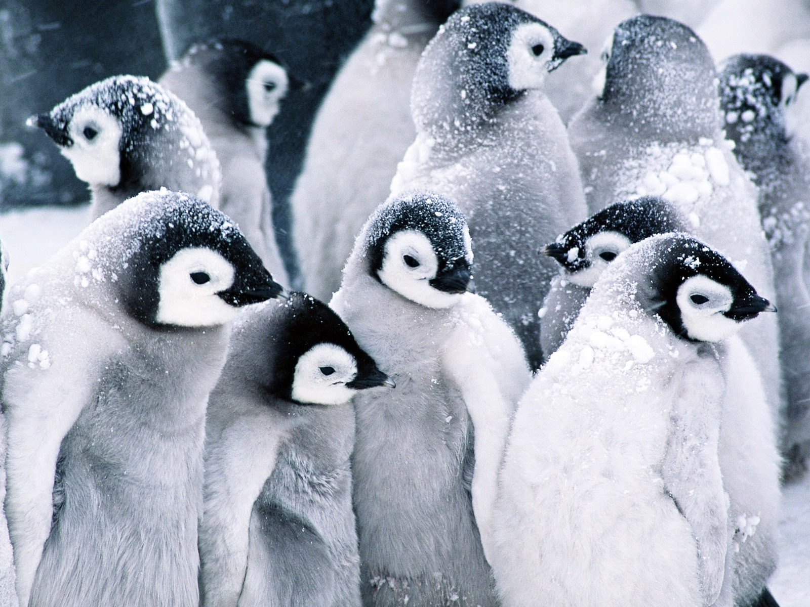 cute baby penguins wallpaper | 1600x1200 | #45966