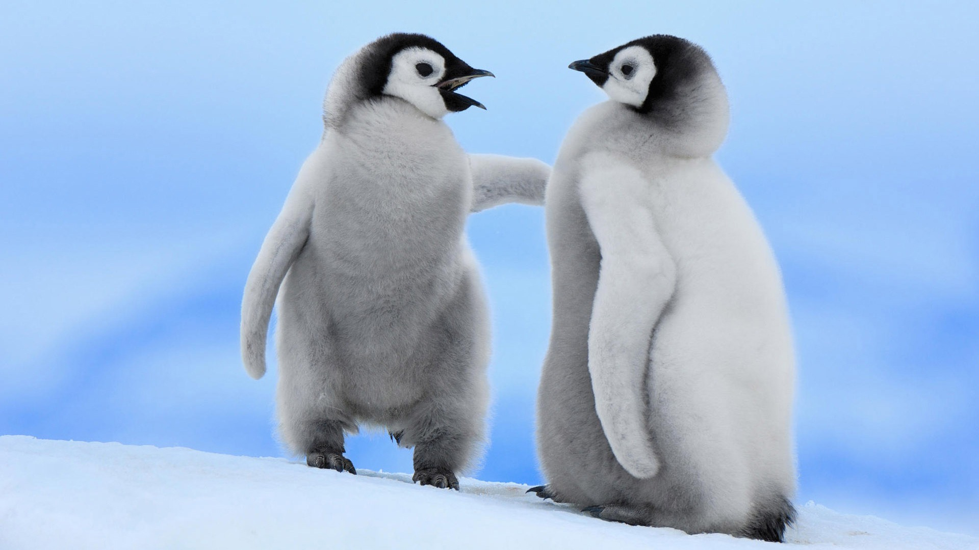 Baby Penguin Cute Wallpapers For Tablet Background