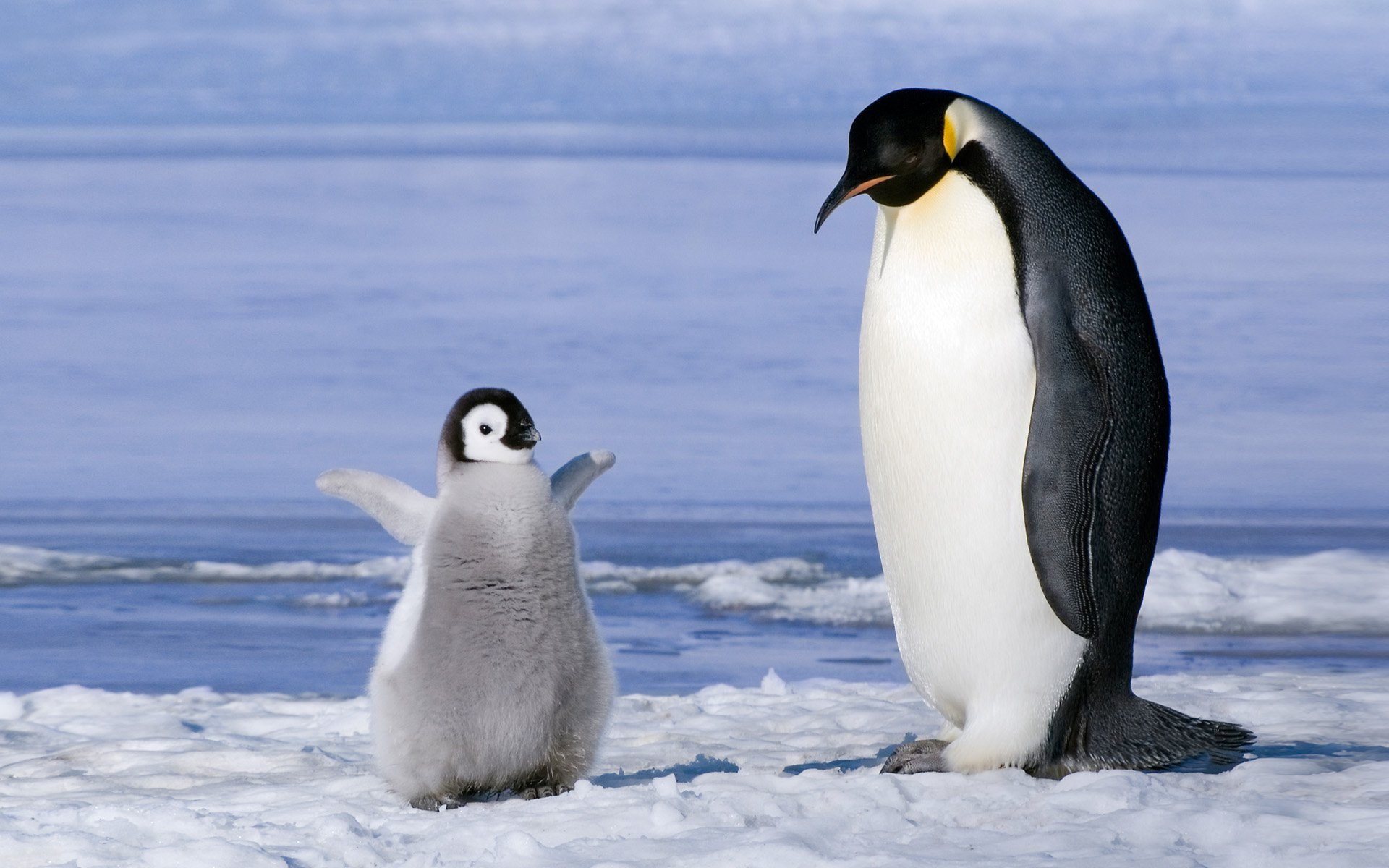 Cute Baby Penguin Cartoon HD Wallpaper