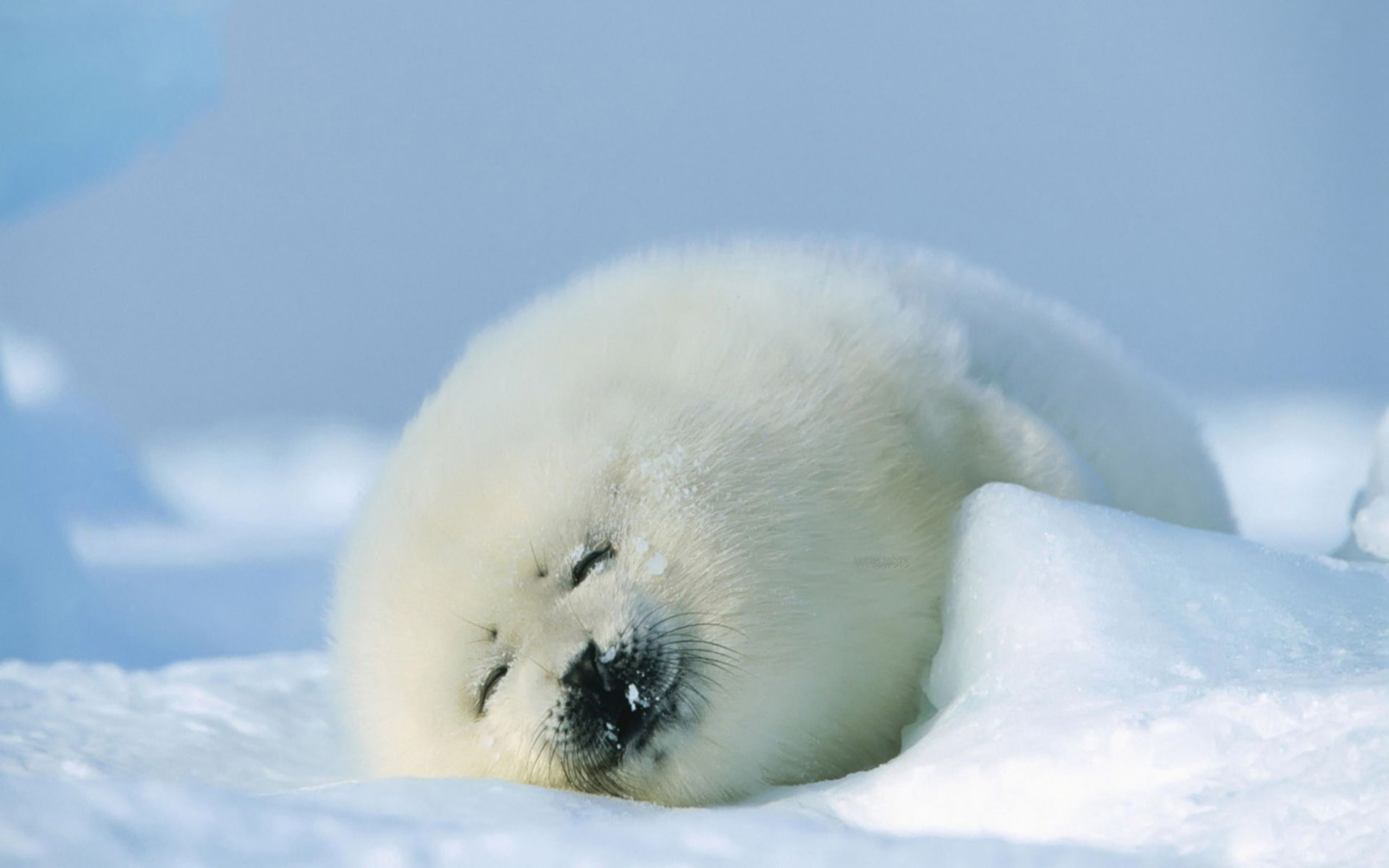 Cute Baby Seal Animal World Series Wallpaper 2560x1600px