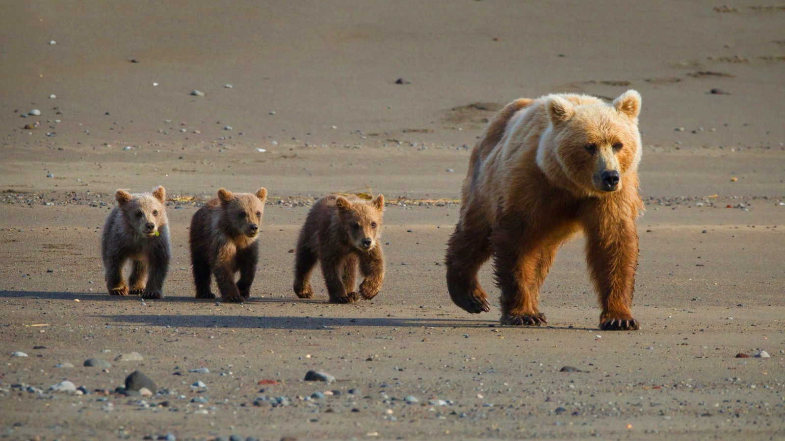 Cute bear cubs