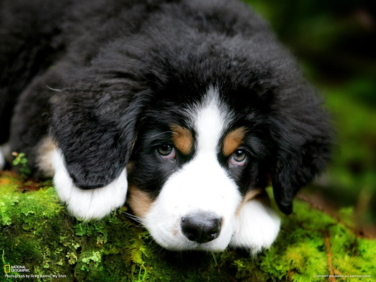 Animals Dogs Cute Puppy Bernese Mountain Dog 049832 Jpg