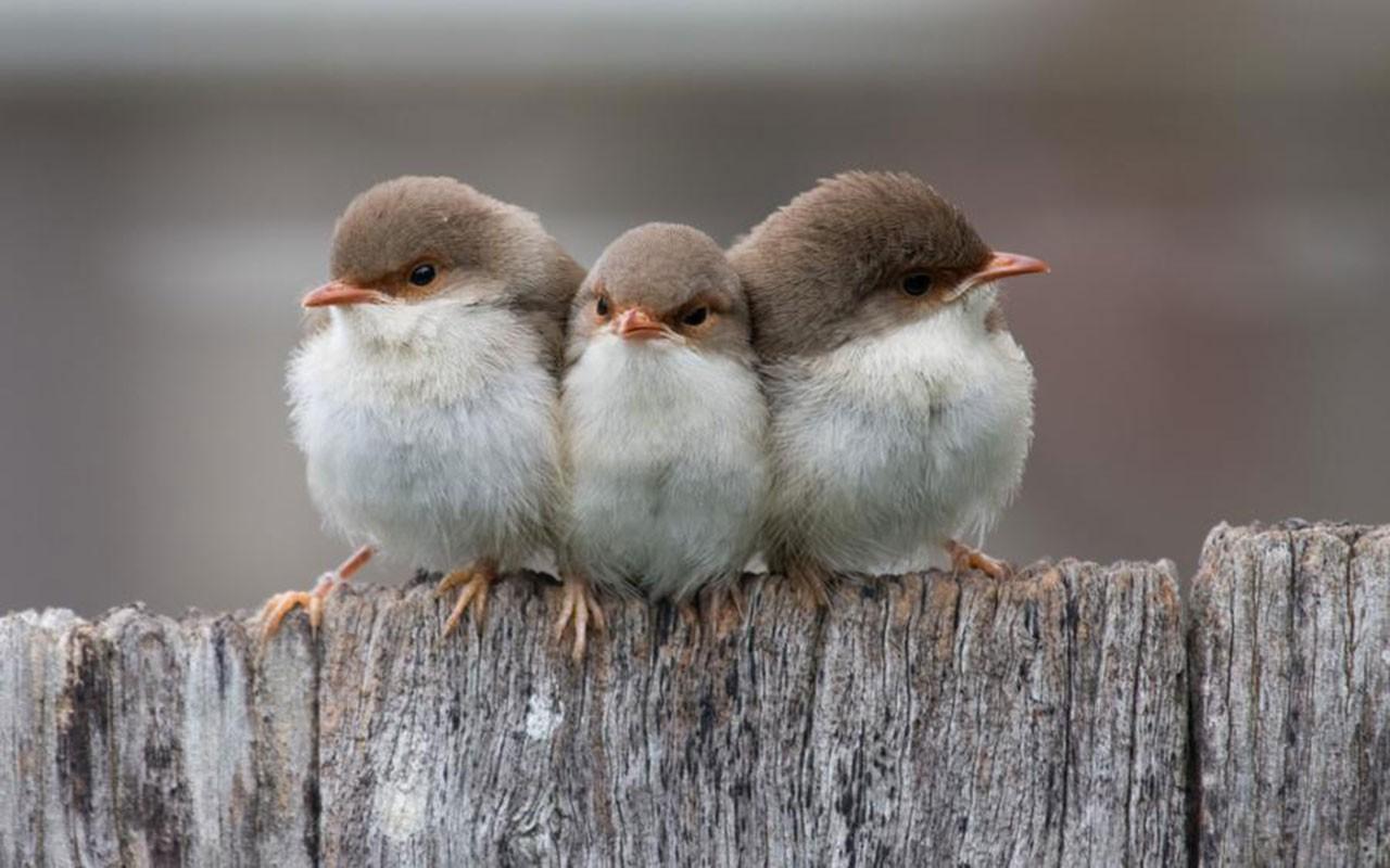 Cute Birds Wallpaper 1280x800 1402
