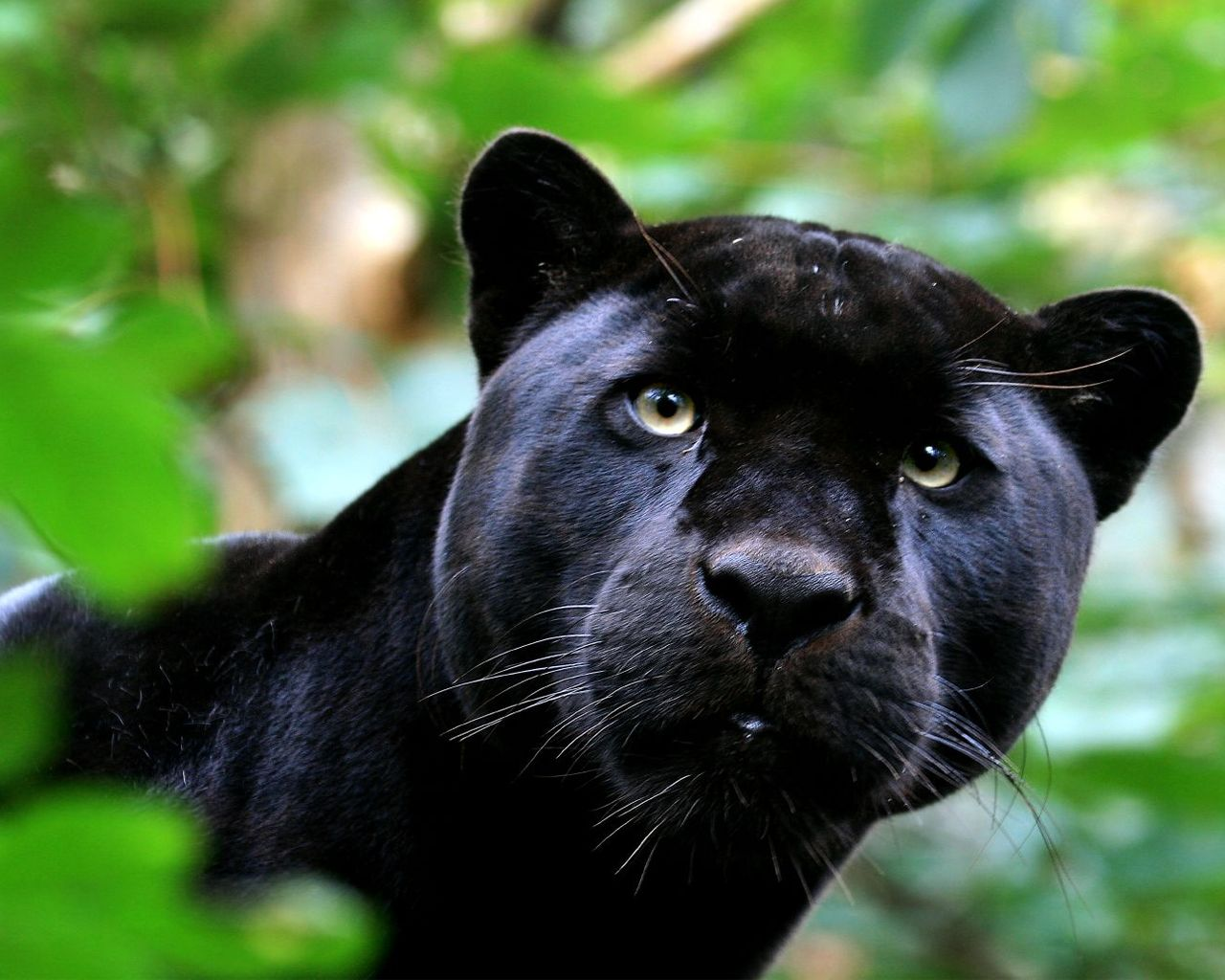 Cute Black Panther Wallpaper 15779