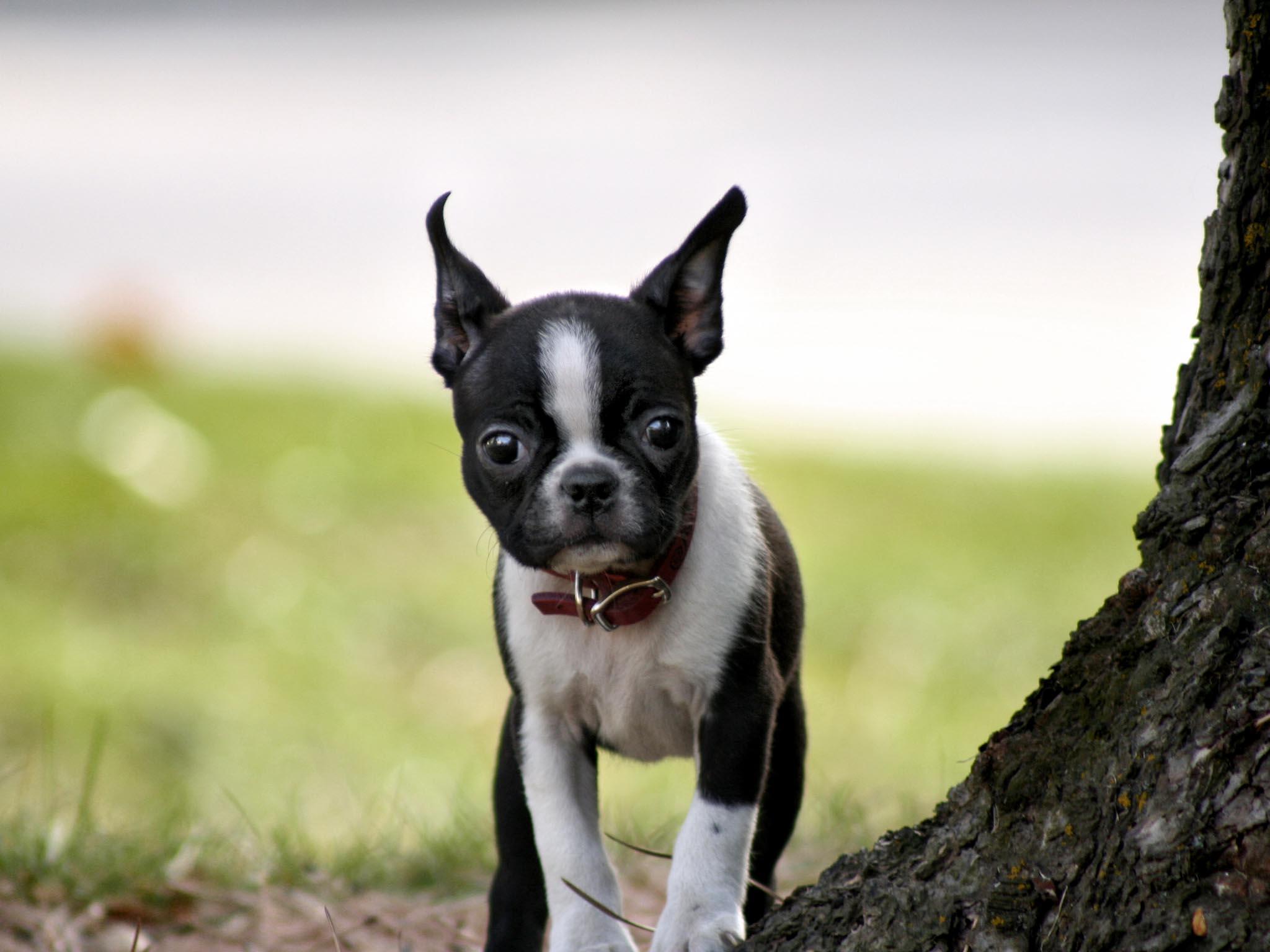 Cute Boston Terrier Wallpaper
