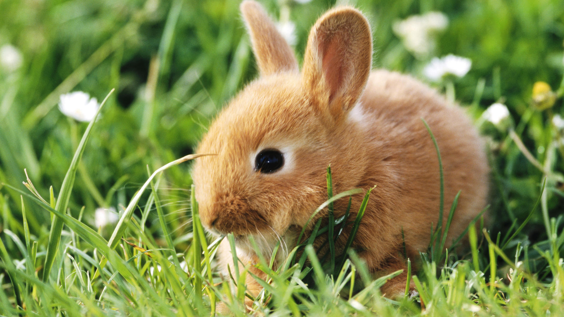 Brown Bunny Cute
