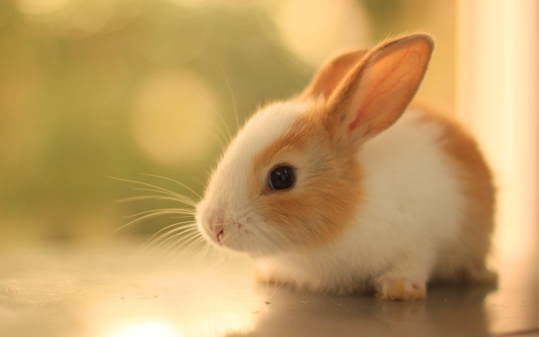 Cute rabbit hd