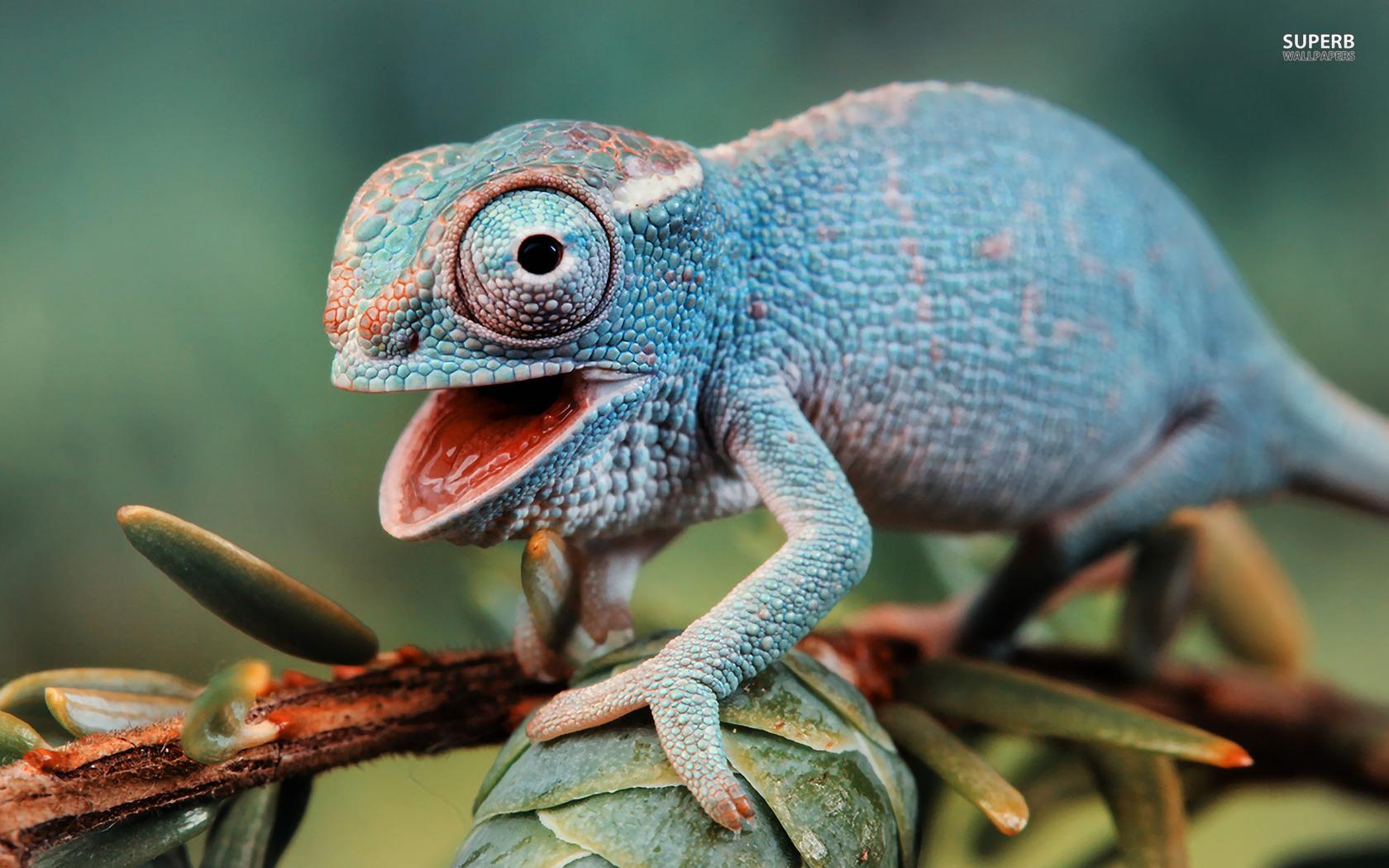 Cute Chameleon Wallpaper 23640 1920x1080 px