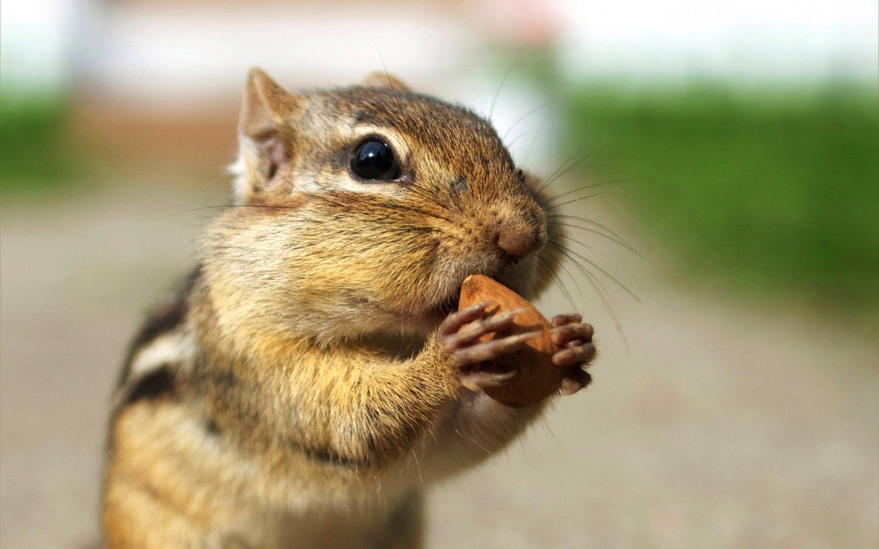 Cute Chipmunk