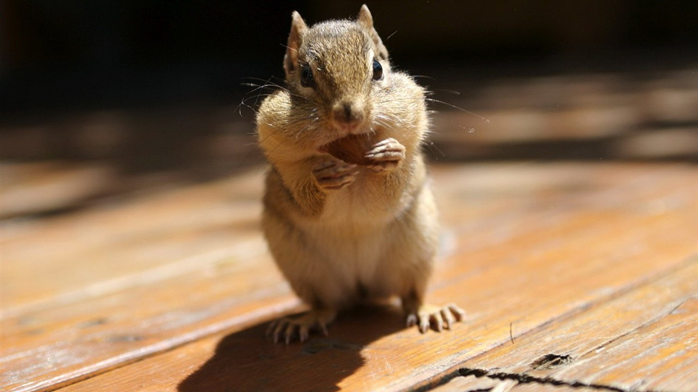 Cute chipmunk wallpaper #21 - 1366x768.