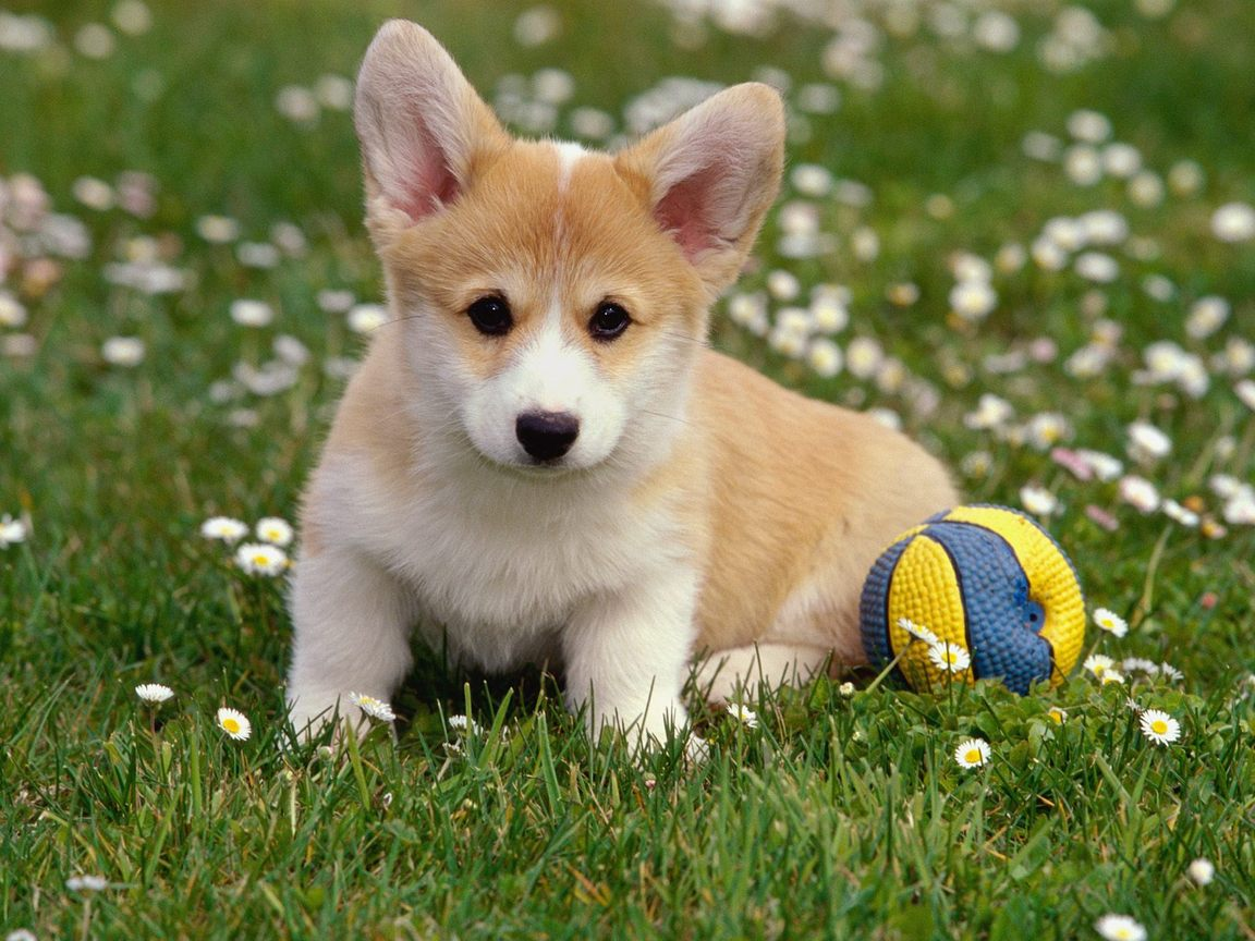 Cute Corgi Wallpaper