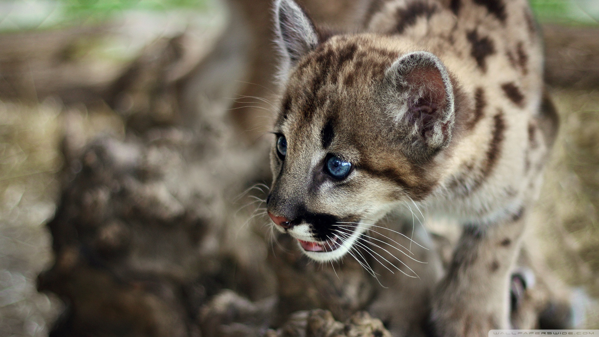Cute Cougar Wallpaper