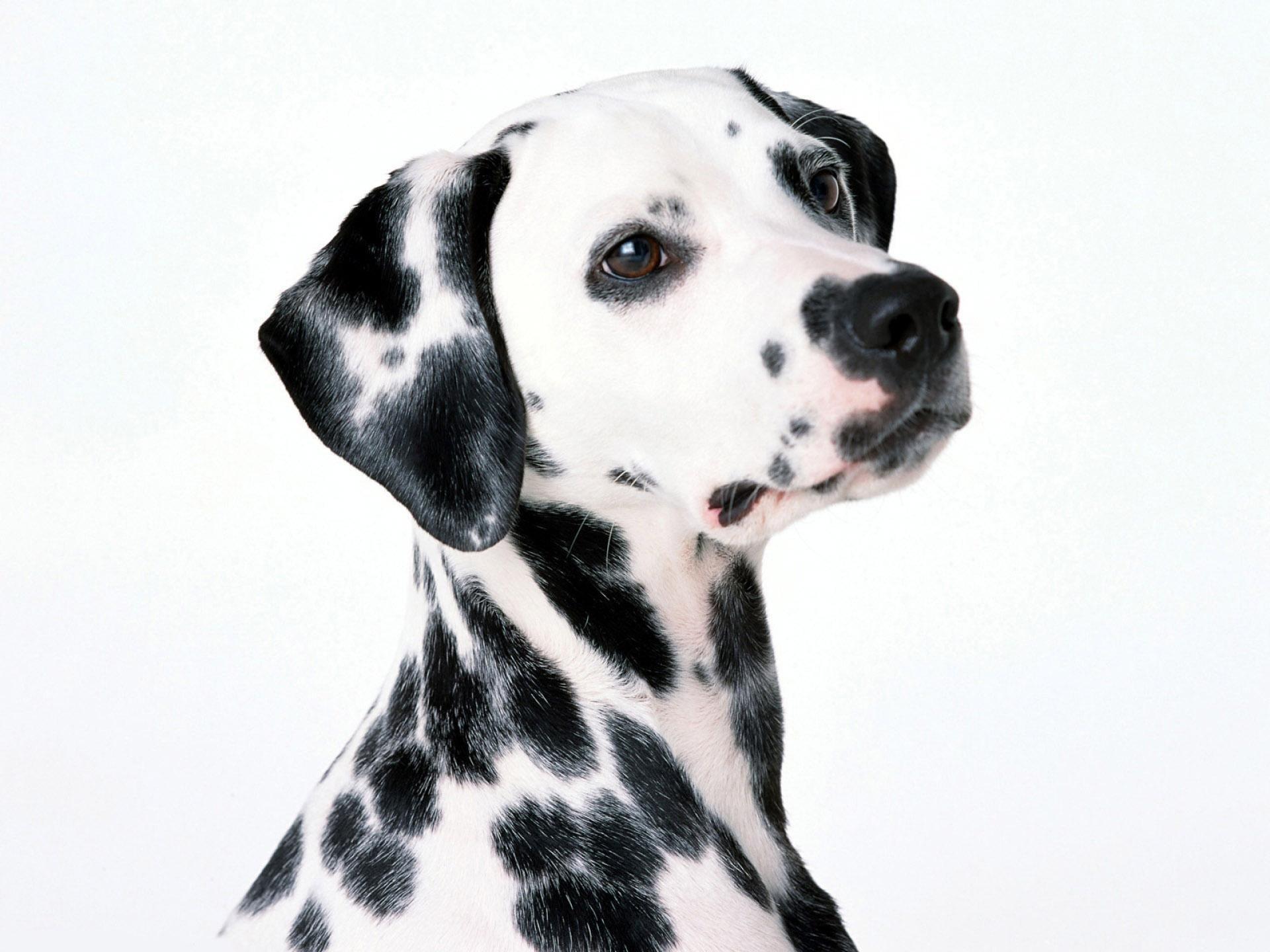 Cute Dalmatian 33071 1600x1200 px