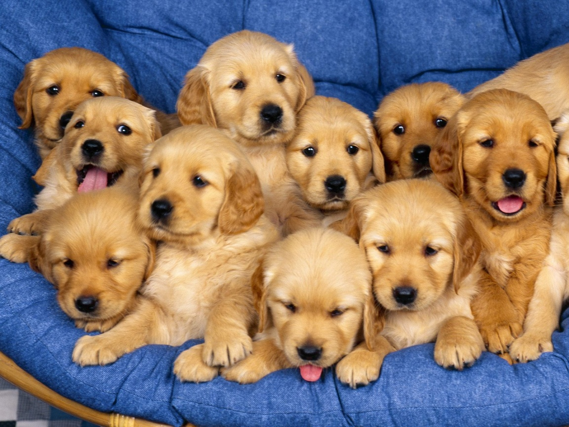 Cute Labrador Retriever Puppies Group Dogs HD Wallpaper