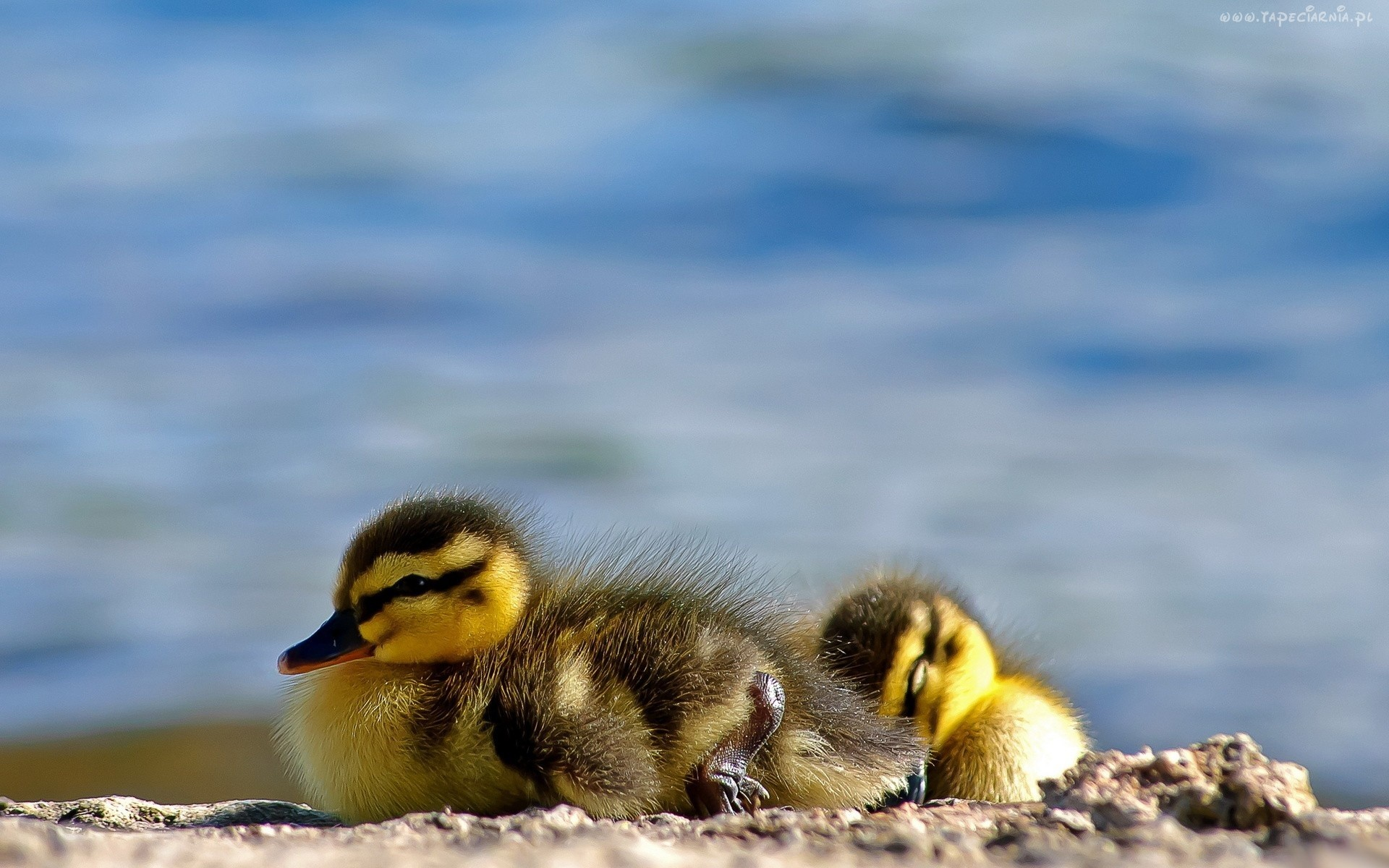Cute ducklings 1