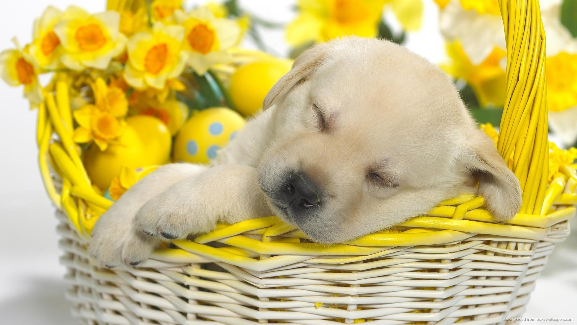 ... [ratio] => 16x9 [color] => [itemTitle] => Array ( [0] => wallpaper [1] => wallpapers ) [options] => Array ( ) ) Cute puppy sleeping in an Easter basket ...
