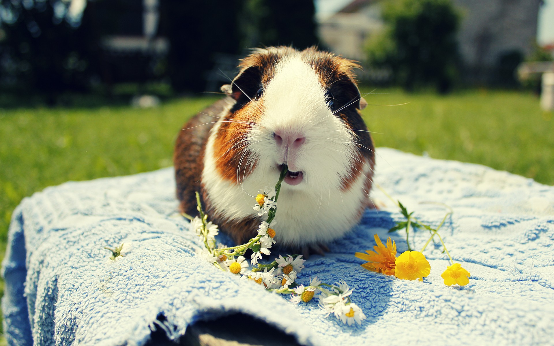 Cute eating guinea pig