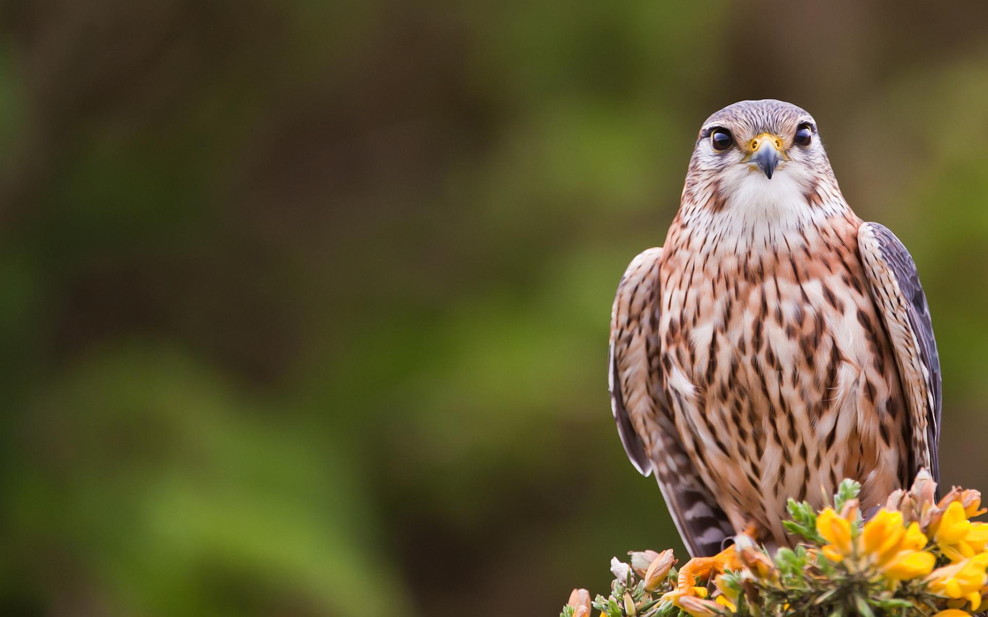 Cute Falcon