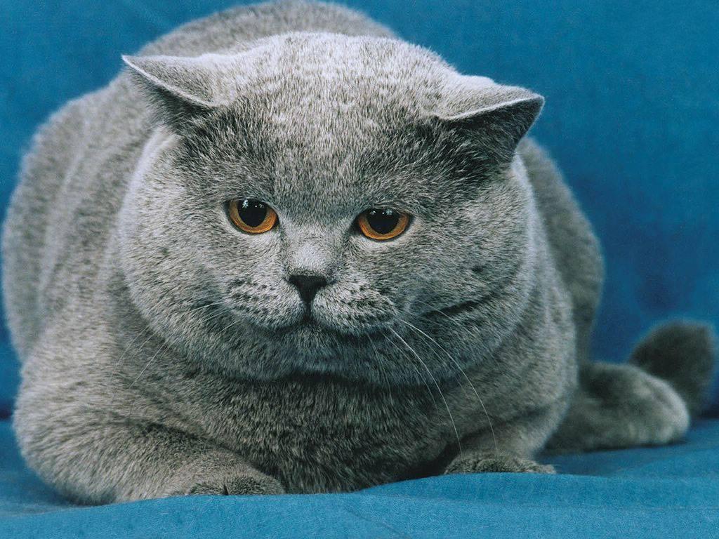 Cute Fat Cat HD Wallpaper