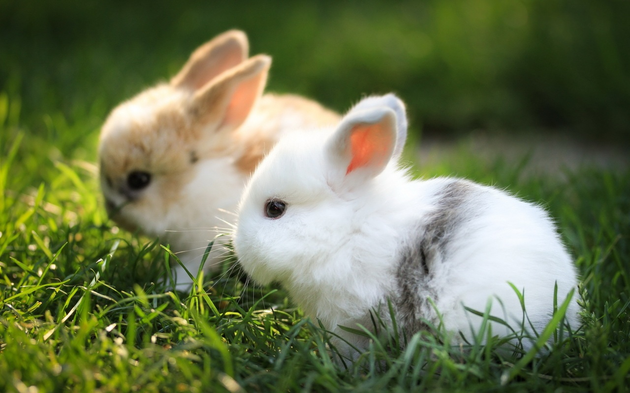 Two Fluffy Bunnies