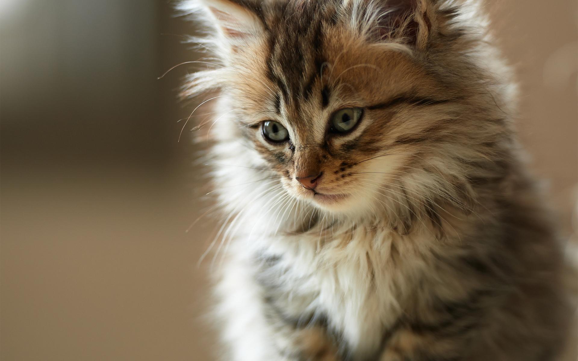 Cute fluffy kitty hd