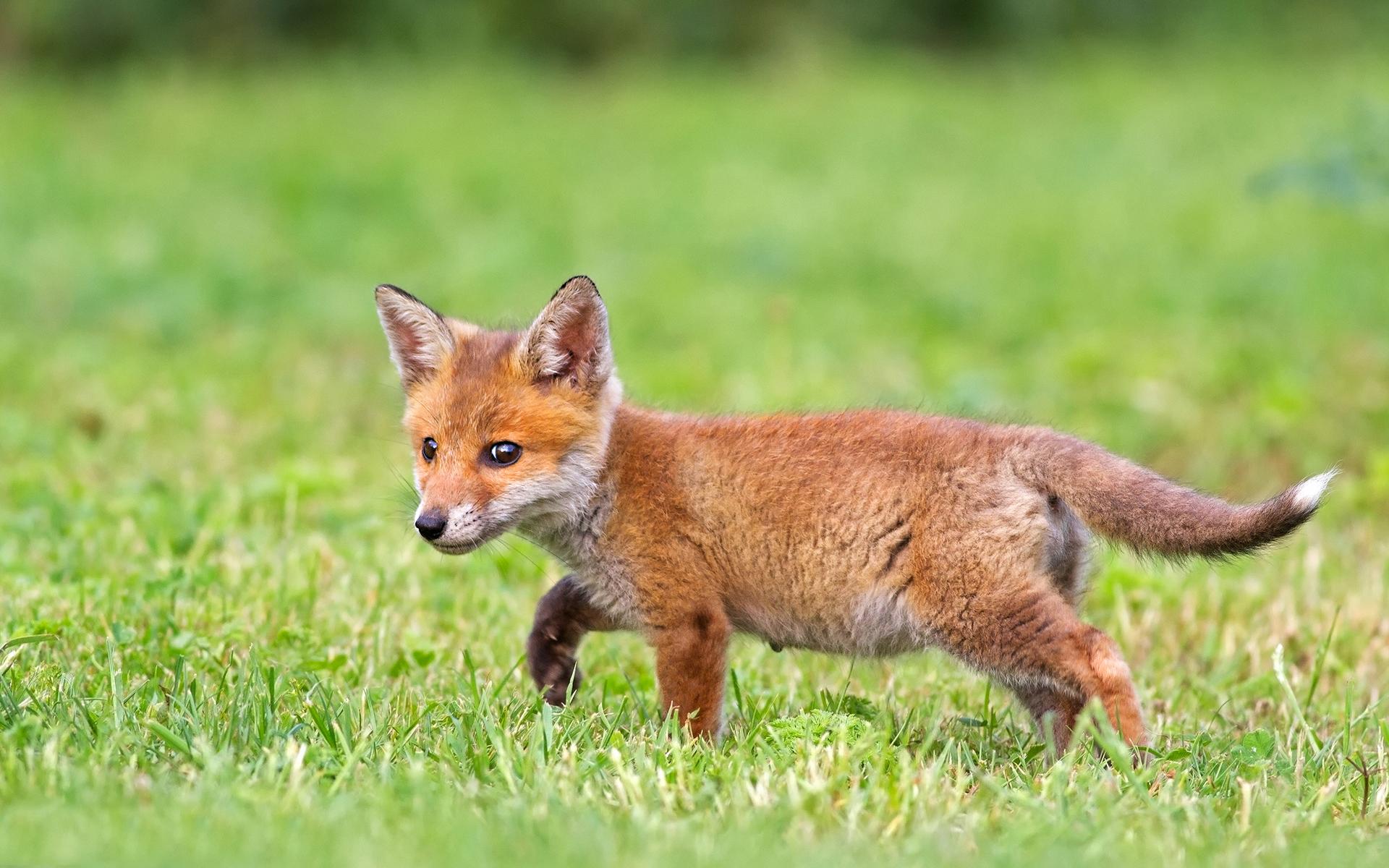 Cute fox cub