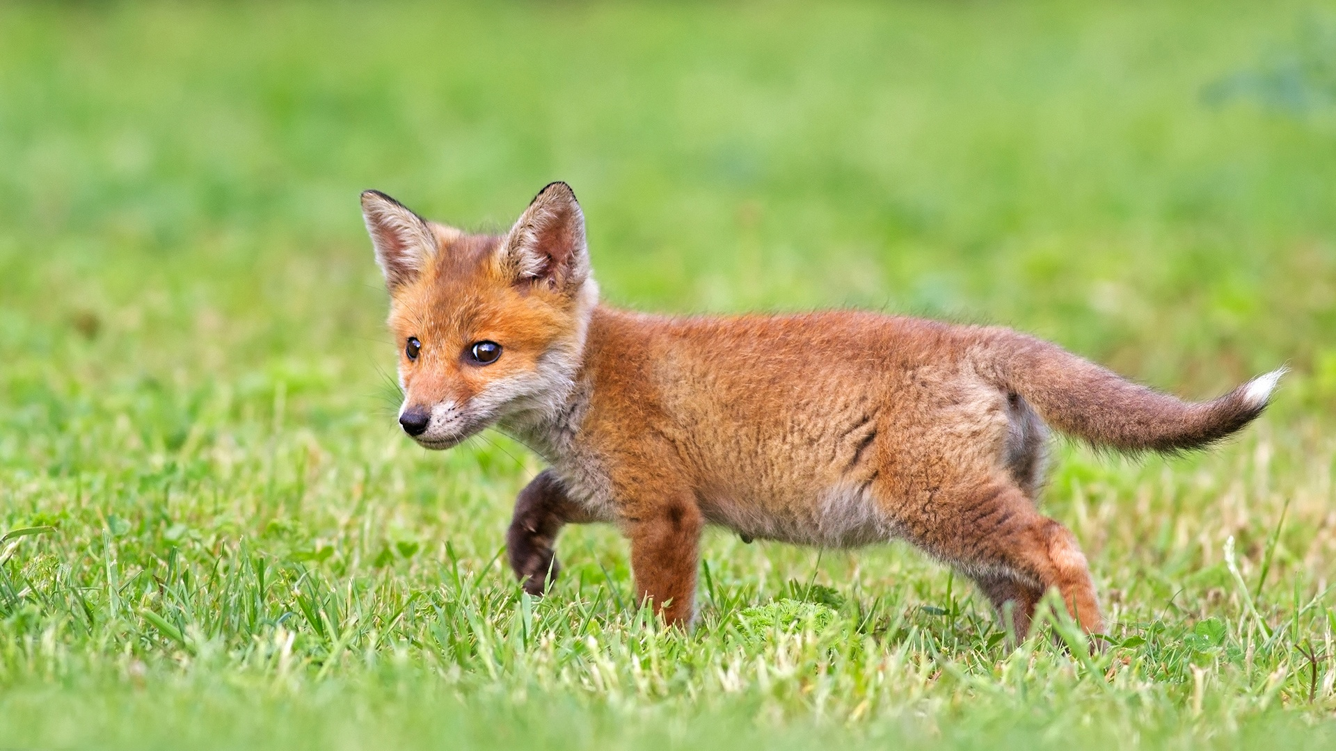 Cute fox cub Wallpaper in 1920x1080 HD Resolutions