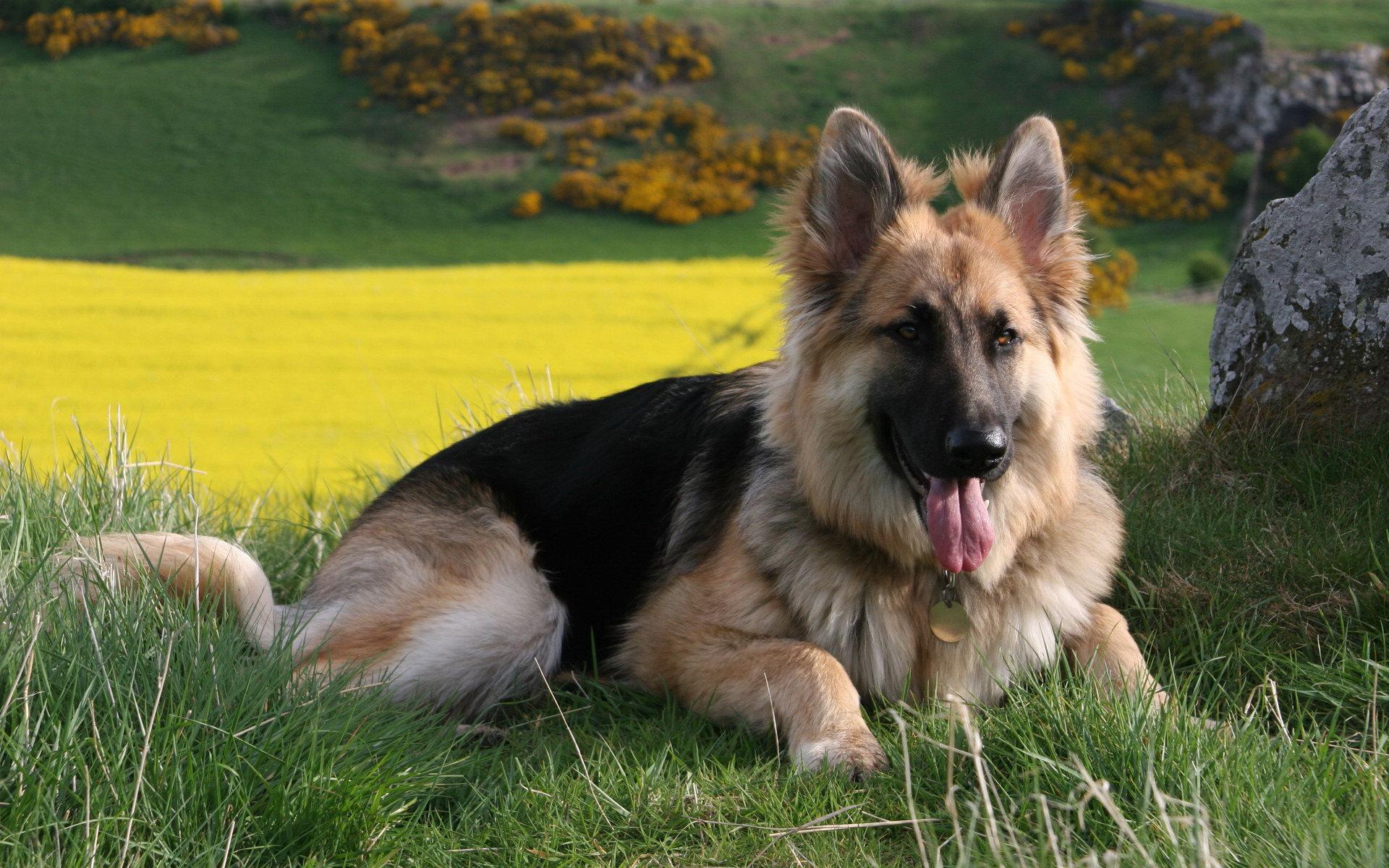 Cute German Shepherd