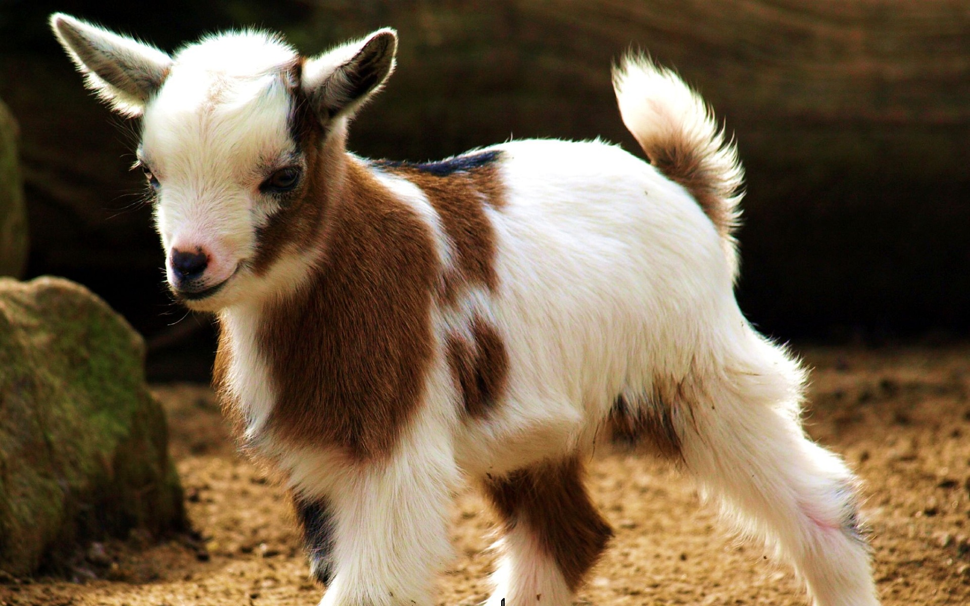 Adorable Goat Wallpaper · Cute Goat Wallpaper ...