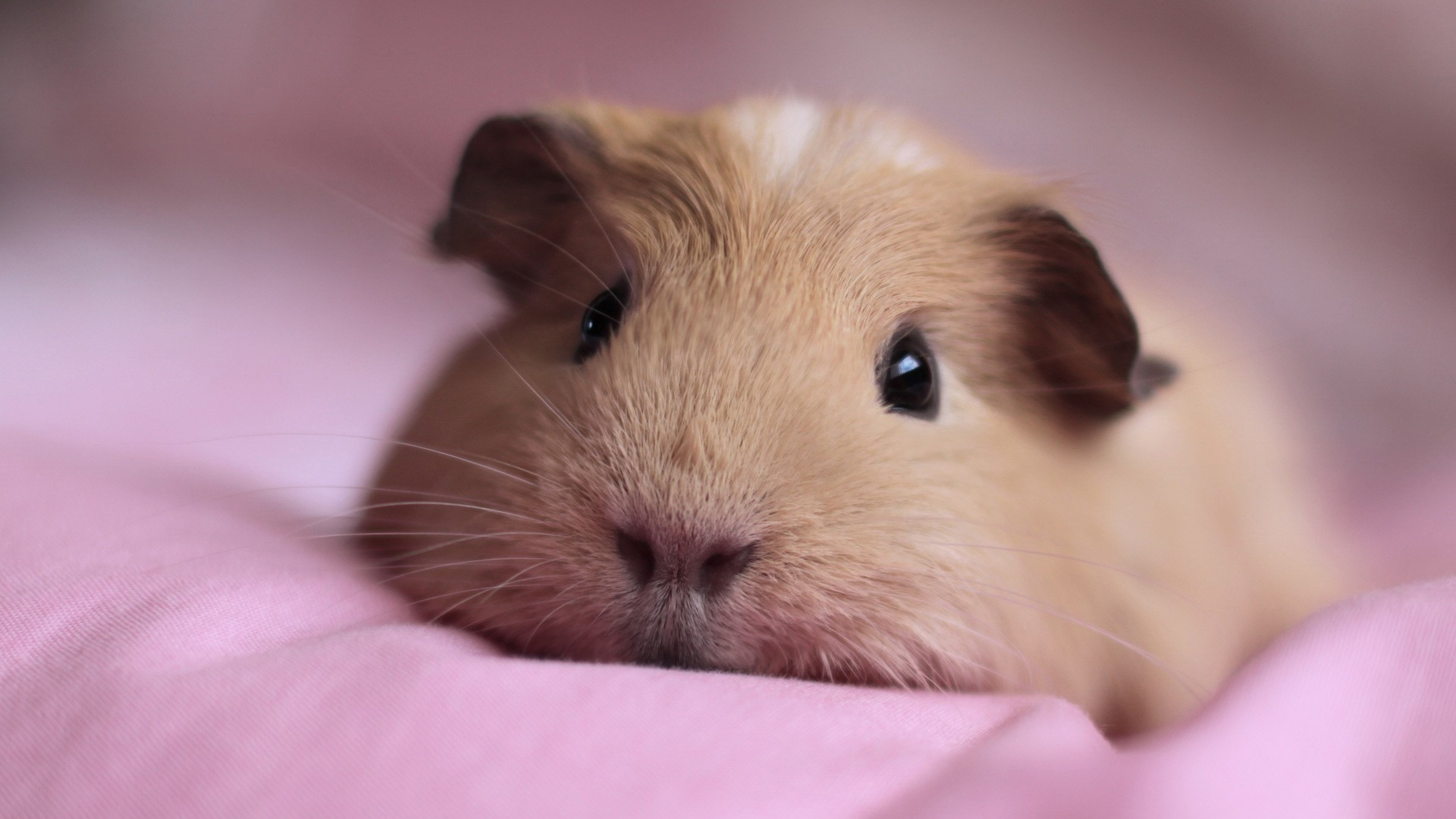 3840x2160 Wallpaper guinea pig, snout, fluffy, down, cute