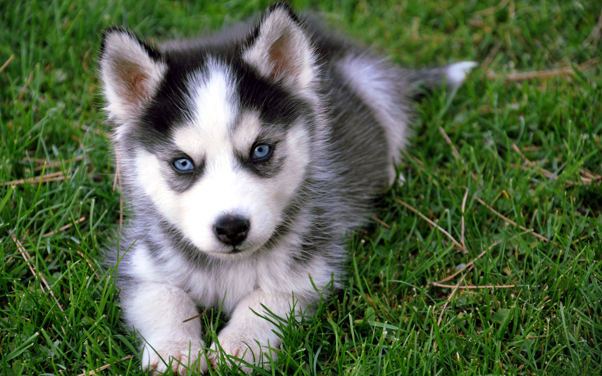 Cute Husky Wallpaper