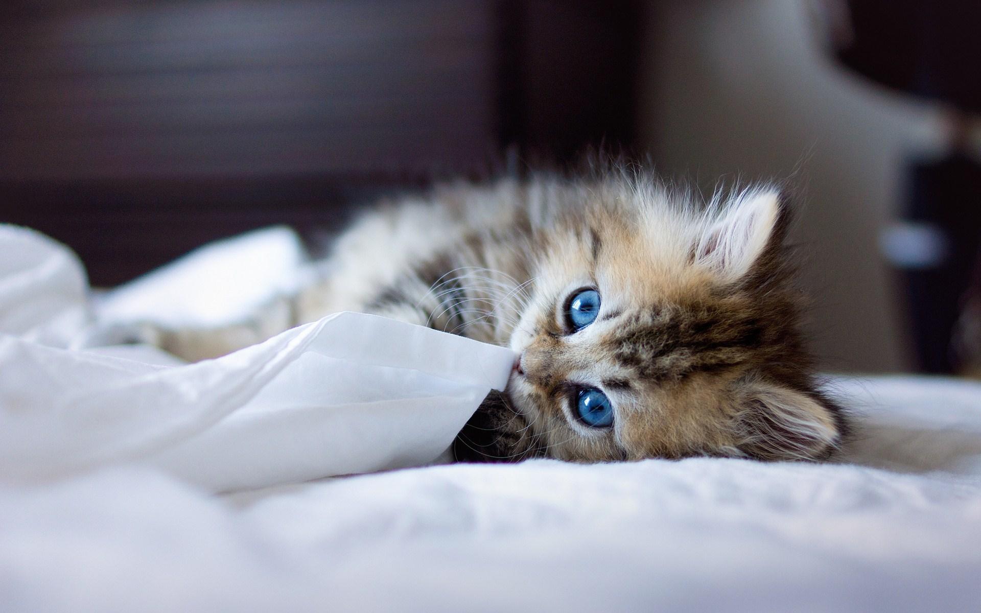 Cute Kitten Blue Eyes Bed Photo Wallpaper
