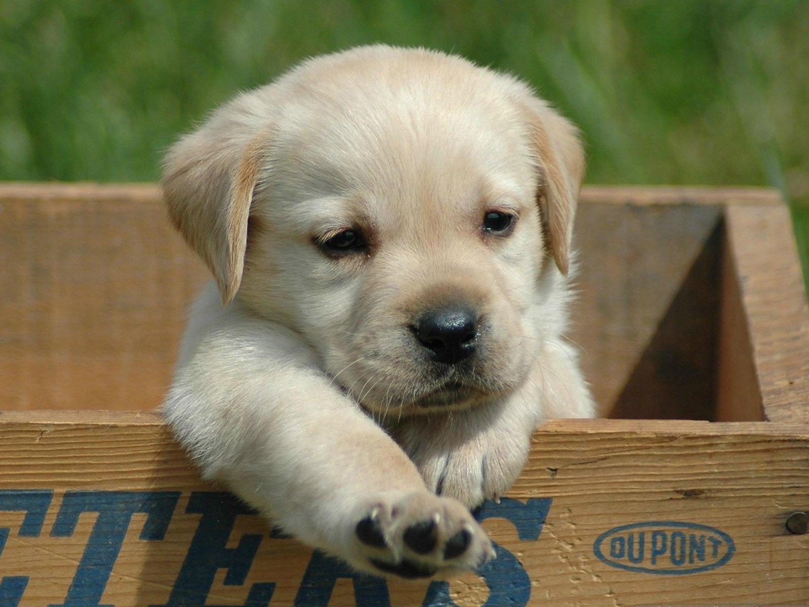 Cute Labrador 23490 1920x1080 px